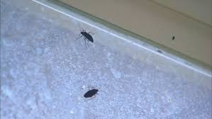31+ Little Black Bugs In Bedroom  PNG