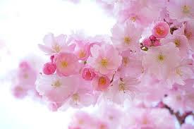 4 000 Free Cherry Blossom Spring Images Pixabay