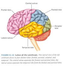 c enliste las áreas funcionales de la corteza cerebral 1 d describa el homúnculo motor 1 e presente un diagrama del homúnculo sensorial 1