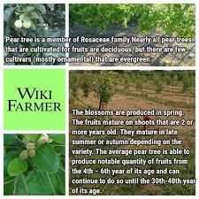 How To Grow Asian Pears  Howtos  DIYDo All Pear Trees Bear Fruit