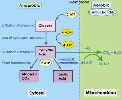 Anaerobic Cellular Respiration Sbi 4u Website