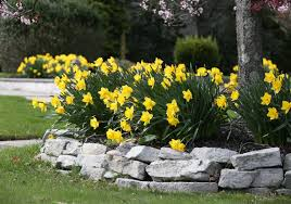 There\u0027s Always Room for Daffodils - Longfield Gardens