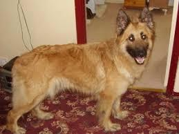 golden retriever german shepherd mix.  German Tan Shepherd For Golden Retriever German Mix C
