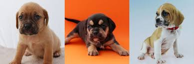 black and tan puggle. Contemporary And In Black And Tan Puggle