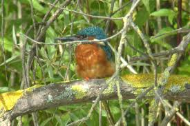 stephen burch s birding website oxon bird pics autumn  kingfisher radley gravel pits