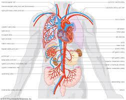 circulatory human body t evans libguides at mccallie school circulatory system