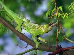 Risultati immagini per immagine camaleonti