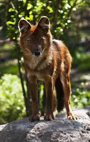 Small Picture Best 20 Species of dogs ideas on Pinterest Fox species