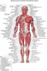 Anatomy Chart Muscular System 2019 Human Body Anatomical Chart Muscular System Campus Knowledge Biology Classroom Wall Painting Fabric Poster36x24 20x13 03 From Kaka1688 10 04