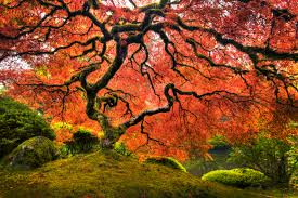 Japanese Maple Growth Chart How Deep Do The Roots Of A Dwarf Japanese Maple Go Into The