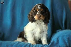 winston er spaniel puppy