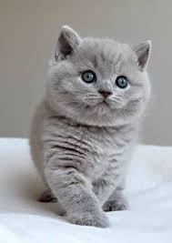 cute fluffy gray kittens. Wonderful Cute Adorable Smokey Gray Fluffy Kitten To Cute Fluffy Gray Kittens Pinterest