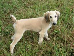 saluki dog. saluki very loyal big dogs from egypt breed dog