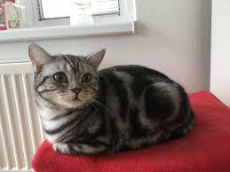 Britská Mramorovaná Kočka Ifaunacz