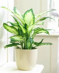 Awesome Toxic House Plants 117 Toxic House Plants To Humans Toxic  Houseplants List Dieffenbachia: Large ...