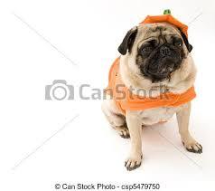 pug in pumpkin costume. Beautiful Costume Intended Pug In Pumpkin Costume F