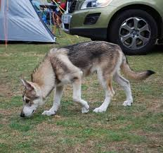 a utonagan dog looks similar to a wolf