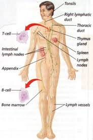Lymph Nodes Body Map Female Lymphatic System Diagram Map Of