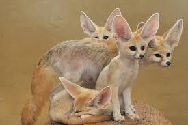 nocturnal desert animals. Wonderful Desert Throughout Nocturnal Desert Animals O