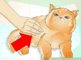 Overweight Cat Chart How To Determine If Your Cat Is Overweight 12 Steps
