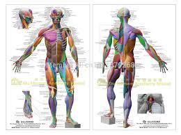 Human Anatomical Chart Muscular System Anatomy Ecorche Wall