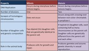 Mitosis And Meiosis Comparison Chart 5th Period Biology Mitosis Vs Meiosis Chart