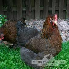 Cochin Chicken Color Chart Murray Mcmurray Hatchery Partridge Cochins