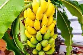 Kerala Fruits Stock Photos U0026 Kerala Fruits Stock Images  AlamyKerala Fruit Trees
