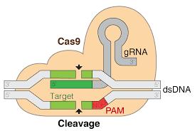 Crispr Design Tool Broad Crispr Gene Editing Wikipedia