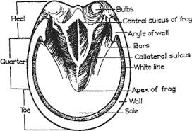 Educational Horse Hoof Anatomy Information