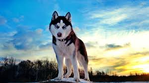 baby husky wallpaper. Delighful Wallpaper Share On Facebook  On Baby Husky Wallpaper