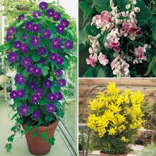 Selecting And Growing Vining PlantsWall Climbing Plants In Pots