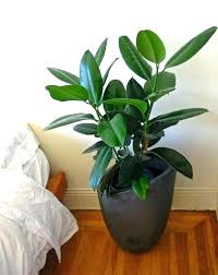 best house plant trees easiest indoor houseplants to maintain tree types large plants for uk house best large houseplants uk