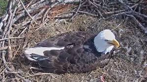 florida eagle cam. Exellent Eagle Watch Fascinating Footage From The Southwest Florida Eagle Cam Inside