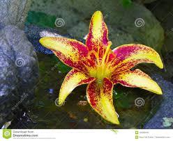 Lilybud Gardens By Design Colorful Lily Bud Floating In Birdbath Stock Photo Image