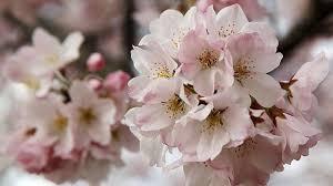 Bunga Sakura Dua Tempat Di Indonesia Untuk Menikmati Bunga Sakura Pilih