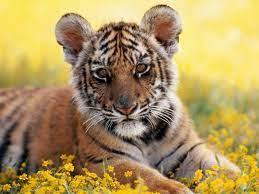 Pics: Cute Tiger Cub Posing Pics ...