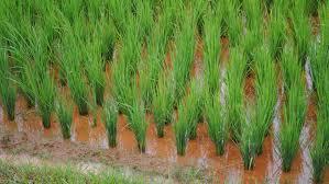 Chinezii se bazează pe CRISPR-Cas9 pentru un orez mai bun