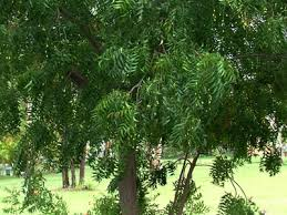 neem trees a natural pesticide herb natural  neem trees a natural pesticide