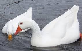 <b>Duck</b> vs Goose <b>Down</b>: Which Is Superior? - Appalachian Mountain ...