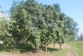 Image result for mango pest and diseases