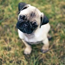 pug puppies ipad wallpaper. Beautiful Puppies Pug Dogs Pugs Puppies Wallpaper Wallpapers Animal Ipad Puppys  Wall Papers Intended Puppies Ipad Wallpaper
