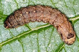 Turfgrass Entomology Cutworms Department Of Entomology