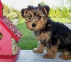 abilene tx two yorkie puppies for free adoption