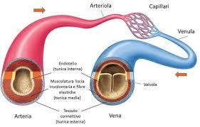 Risultati immagini per vasi arteriosi