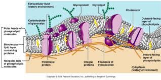 c t plasma cell membranes flashcards
