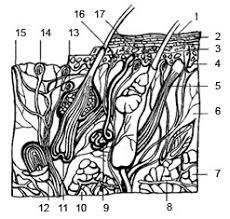 Строение и функции кожи Реферат Схематический разрез кожи