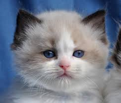 Small Picture Blue Gem Ragdoll Cats Photo Gallery Ohio