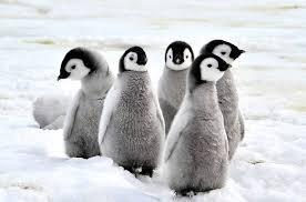 baby penguin. Brilliant Penguin To Baby Penguin G