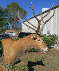 pere david s deer pedestal mount one pere david head mounted on an oak wood hexagon